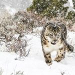 21-Land-of-the-Snow-Leopard