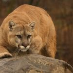 A-mountain-lion-stalks-prey--IMG_0866