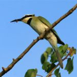 White-Throated-Bee-Eater-with-Lunch